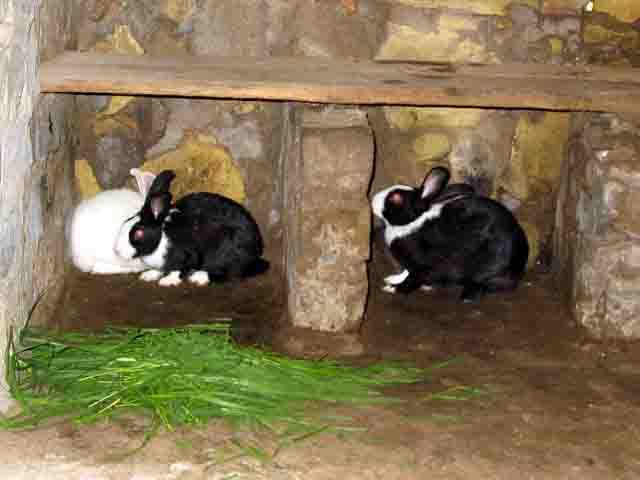 The Three Female Rabbits